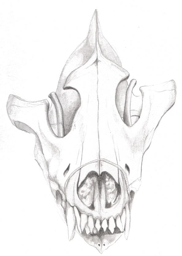 Wolf skull drawing