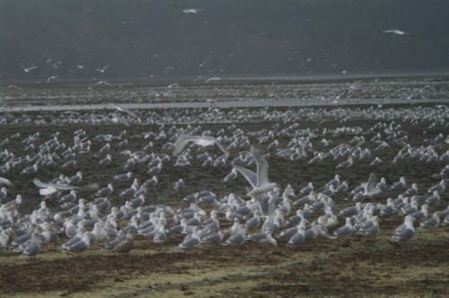Seabirds on the beach at Fanny Bay, BC (photo: Steve Hodder)